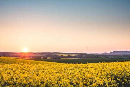 在黄色油菜田的美好的日落