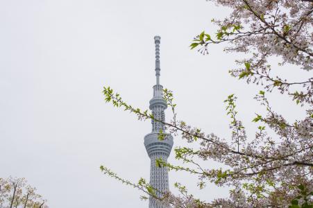 樱花和天空树免费照片