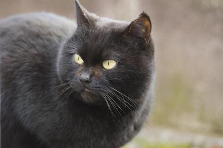 黑猫免费图片