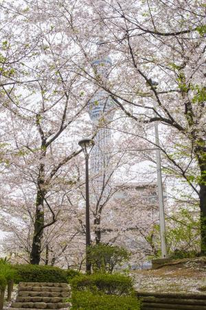 佐仓公园的樱桃树和天空树免费图片