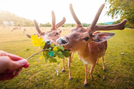 用手喂养小鹿