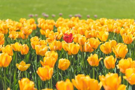 一朵红色郁金香花包围黄色郁金香