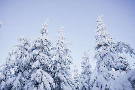 多雪的树和蓝色无云的天空