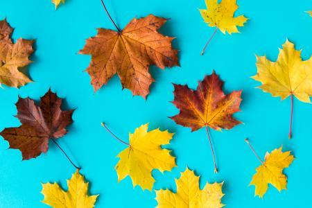 秋叶在平坦的蓝色背景