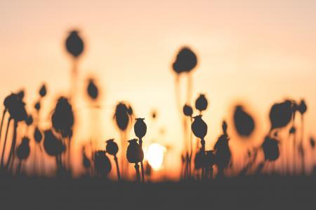 在日落的罂粟种子场