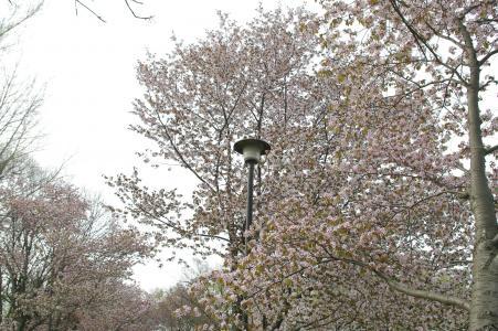 樱花免费库存照片