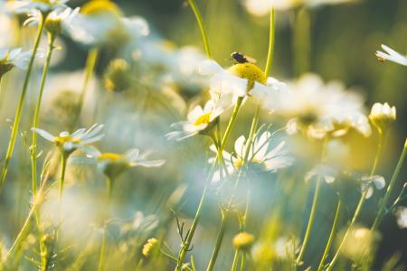 Daisy Flowers #4