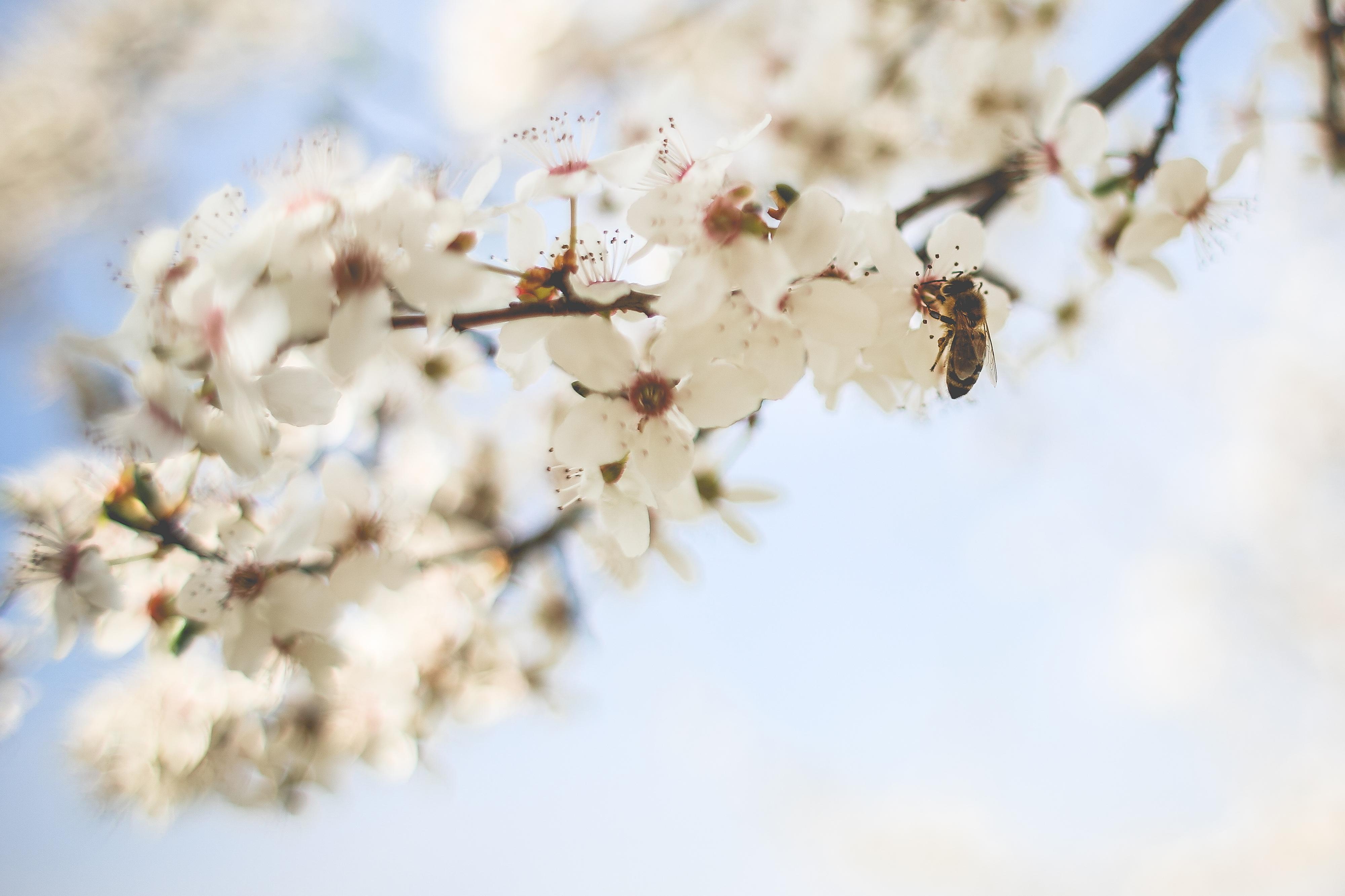 蜜蜂查看苹果树1080x2242分辨率授粉爱青蛙图片
