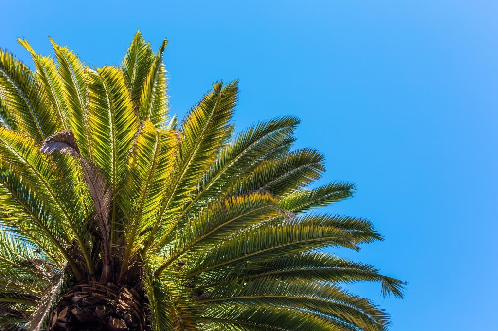 棕榈树视图从下面反对清楚的天空