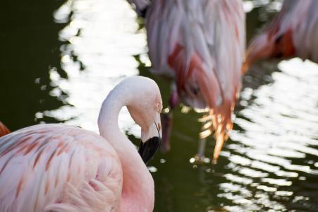 火烈鸟免费图片