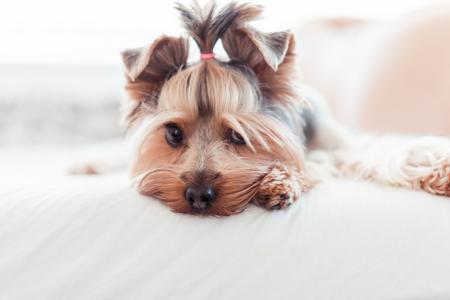 可爱的约克夏犬小狗无辜的看在床上