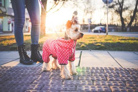 可爱的约克夏犬与衣服