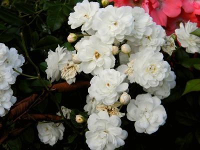 木香花花簇