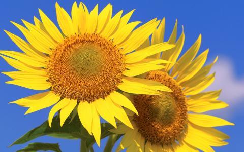 爱笑的向日葵