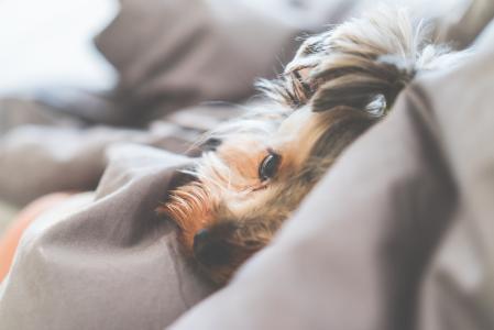 关闭可爱和平静的约克夏狗躺在床上