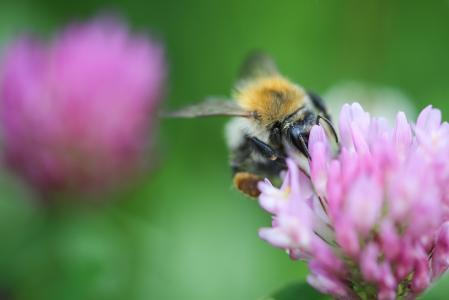 在三叶草关闭的大黄蜂
