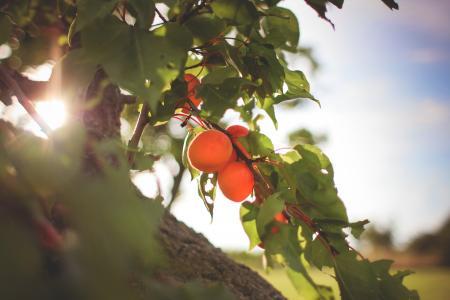 在树的新鲜的杏子