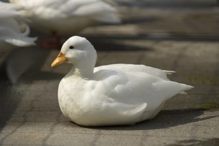 鸭子免费图片