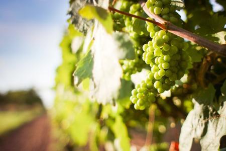 葡萄与葡萄细节