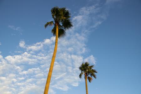棕榈树免费图片