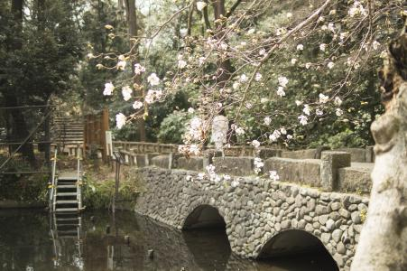 井之头公园的樱花照片素材