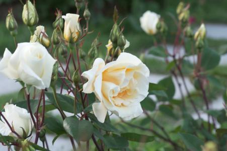 玫瑰花免费照片