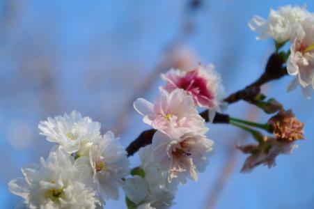 十月樱花免费照片