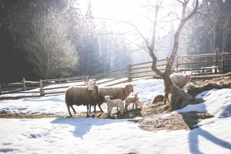 绵羊家庭在冬天