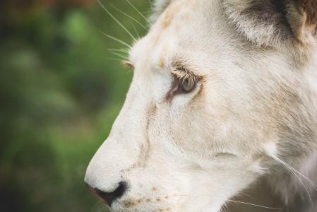 一只白色的狮子的眼睛