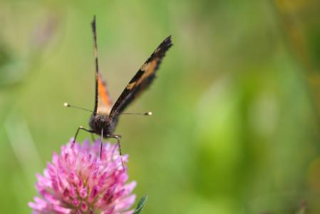 橙色蝴蝶喝花蜜