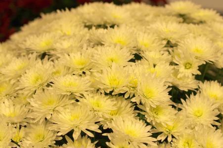 菊花花免费照片