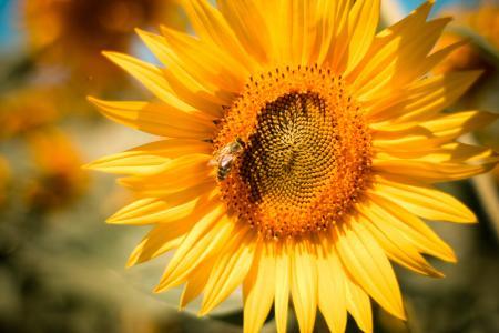 向日葵与蜜蜂