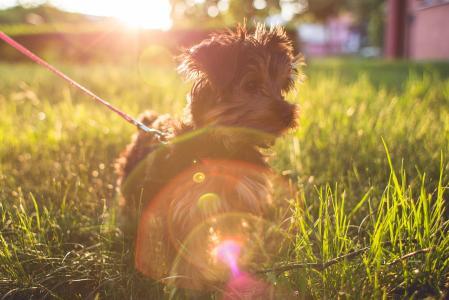 在草的小的约克夏狗