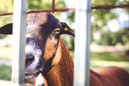 看在篱芭的山羊