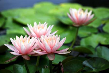 清雅的莲花